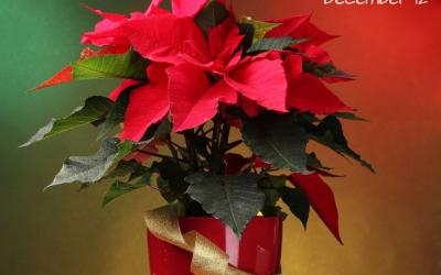 National Poinsettia Day – Dec. 12